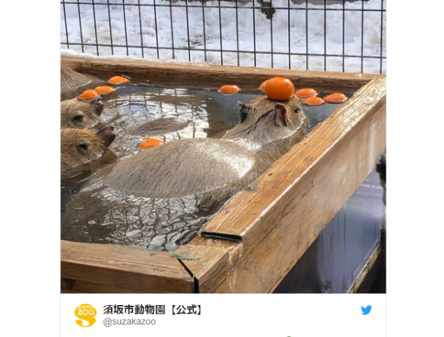 Capybaras celebrate winter in luxurious mikan bath【Photos】