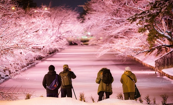 "Midwinter ""cherry blossoms"" are making one of Japan's best castles even more stunning【Photos】"