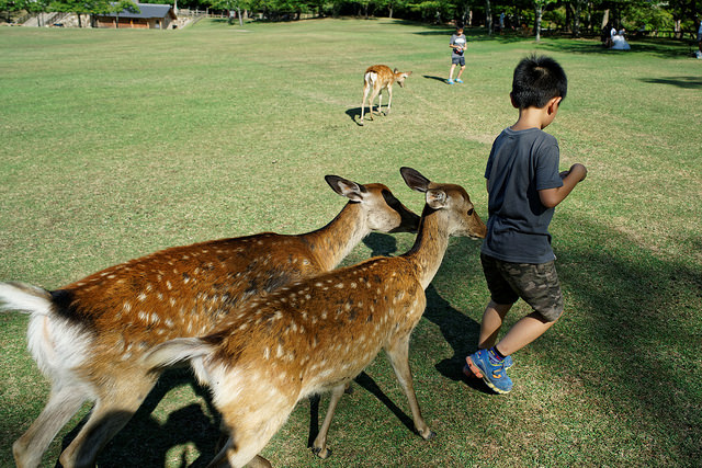 Record number of people injured by deer in Nara this year