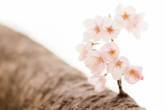 Sakura report 2019: First cherry blossoms begin to bloom in Tokyo