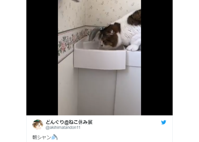 Super cute Japanese kitty takes a little sip and a shower all at once 【Video】
