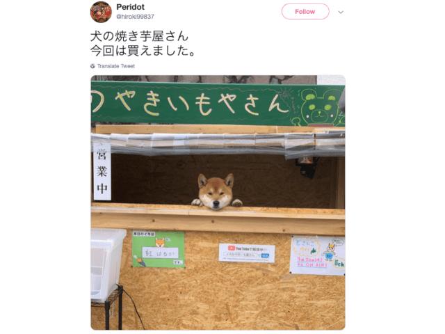 Japanese Shiba Inu runs a sweet potato stand, melts hearts everywhere