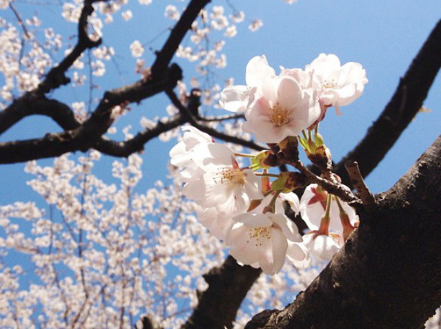 Sakura in Japan 2019: The best spots for hanami cherry blossom viewing