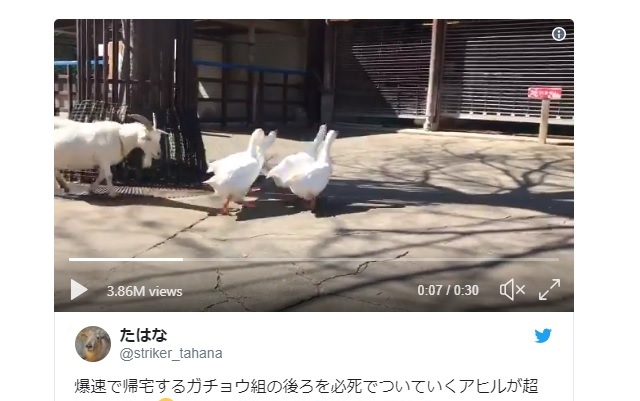 Japanese Internet charmed by zoo duck frantically chasing gaggle of geese【Video】