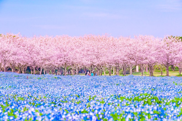 Pink sakura and baby blue eye flowers team up for gorgeous views at this seaside park in Japan【Pics】