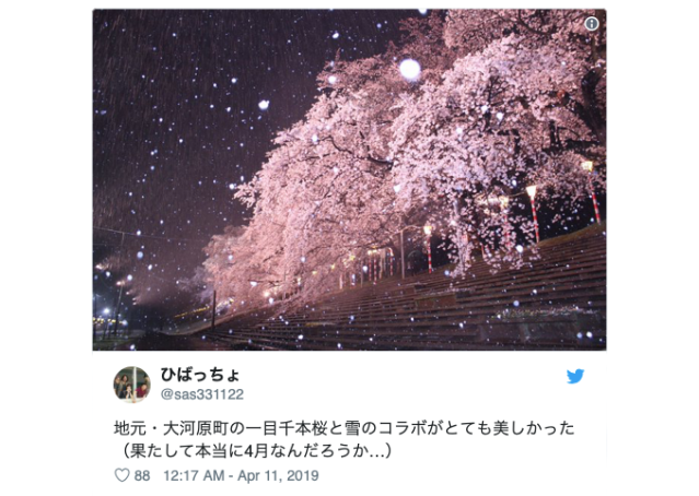 Snow Sakura in Japan: A magical hanami cherry blossom viewing experience【Pics & Video】