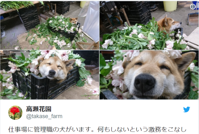 Shiba Inu boss lazes around in flowers while winning Japanese workers' hearts