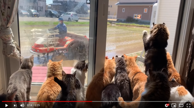 Japanese cats love nothing more in the world than watching farmer next door plant his rice【Video】
