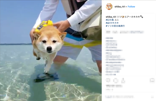 Japanese Shiba Inu melts hearts with adorable swimming technique…above water 【Pics &Video】