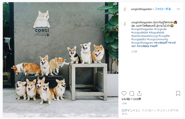 There's a Corgi cafe in Thailand and it looks just like heaven【Photos】