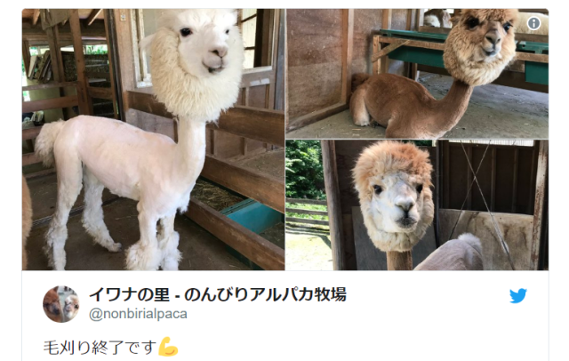 Alpacas look freaky with their hair cut short, Japanese ranch reminds us【Photos】
