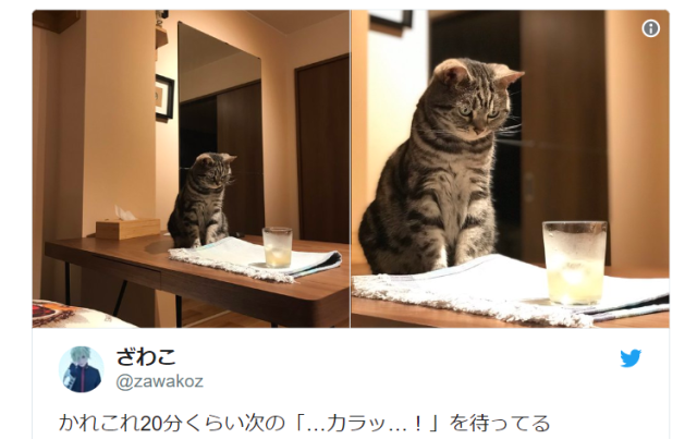 Cute cat with amazing concentration powers focuses its iron gaze on an icy drink, of all things