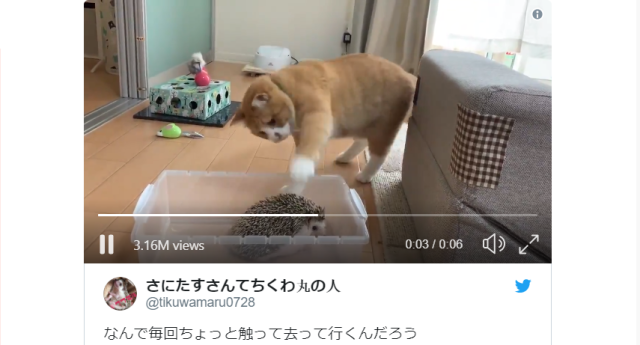Japanese pet owner's precious cat and hedgehog combo are a perfect prickly pair【Video】