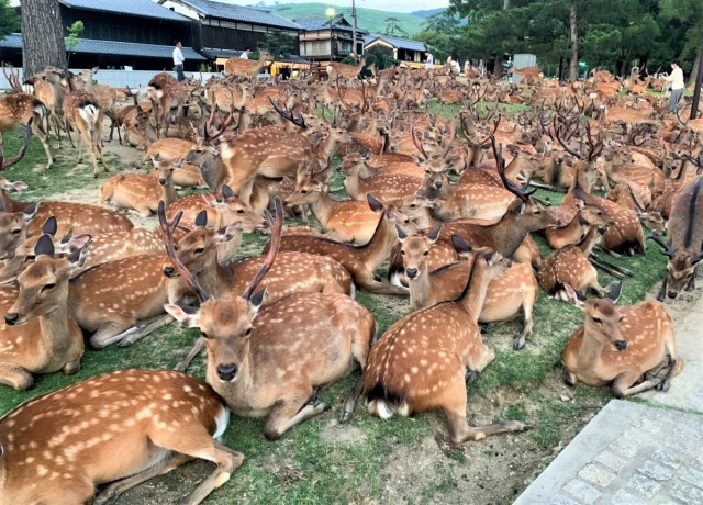 Shikadamari: The Nara deer summer gathering phenomenon that baffles visitors every year