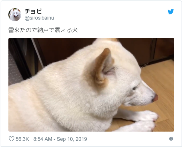 Twitter sympathizes with shivering Shiba Inu during a Tokyo thunderstorm【Video】