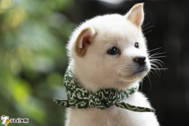 "23rd-generation Shiba Inu quiz dog to make TV debut, Japan collectively goes ""Daaaaaw!"""