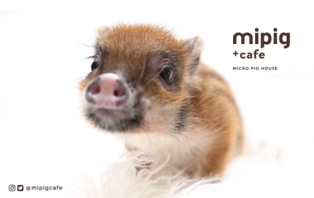 Have coffee with adorable piggies at Tokyo's brand-new micro pig cafe in trendy Harajuku