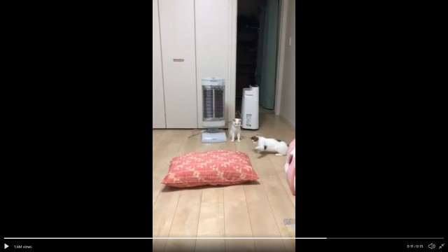 Watch as these Japanese cats treat their brand new, giant cushion with extreme suspicion
