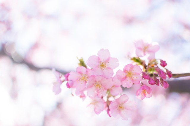 Sakura begin to bloom in Japan as early cherry blossom season forecast for 2020