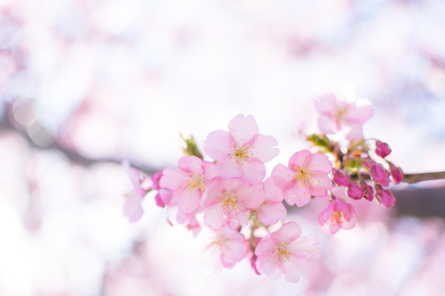 Cherry blossom forecast 2020 released! Sakura season shifts to new start time in Tokyo this year