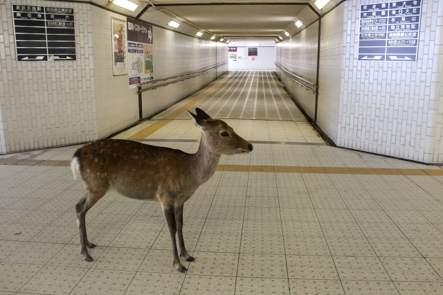 Nara deer leave park, head to station for food as tourist numbers tumble due to coronavirus