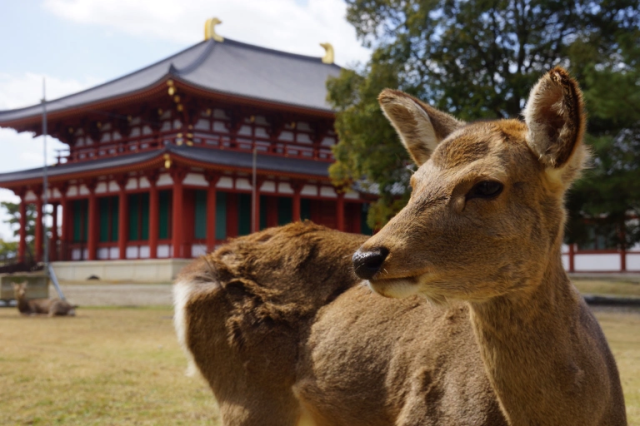 With foreign visitor numbers to Nara Park plummeting, are the city's deer in danger of starving?