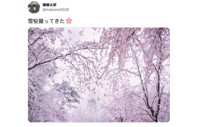 Snow falls on sakura cherry blossoms in full bloom around Tokyo 【Photos & Videos】