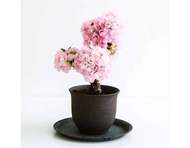 Potted mini sakura trees are perfect for everyone who missed cherry blossom season this year