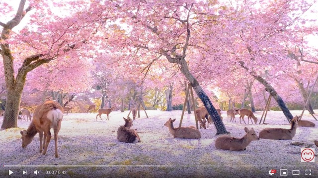 Sakura cherry blossoms float on breeze, land on Nara deer in perfect hanami video