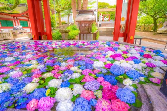 Tradition meets summer blooms as shrines arrange beautiful floating flower displays【Pics, Video】