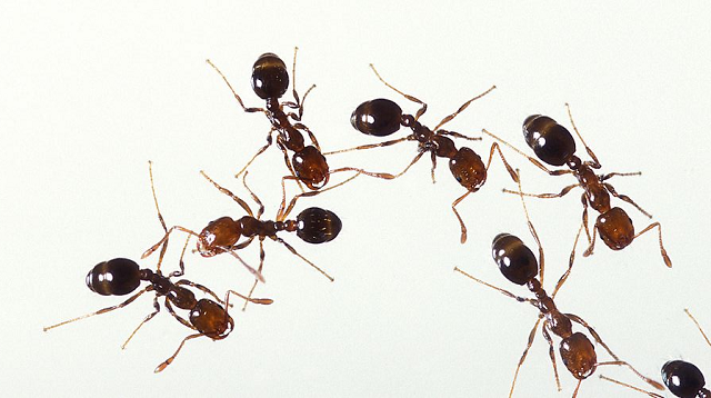 Hundreds of venomous fire ants discovered in Tokyo, queen yet to be found