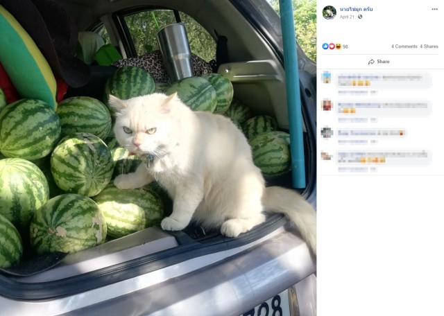 """Keep your paws off 'em!"" This cute Thai cat is very protective over its owner's watermelons"