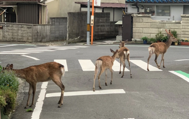 Nara deer heading farther outside park during the coronavirus outbreak, but will they come back?