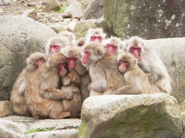"Japanese grandmothers create ""Monkey Busters"" group, fight primates with airguns"
