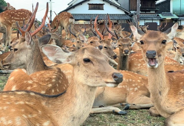 Deer in Nara Park outnumber visitors, display baffling summer gathering behaviour