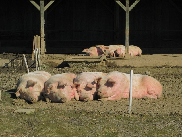 670 pigs have been stolen in Japan this summer, and thieves are stealing cows too
