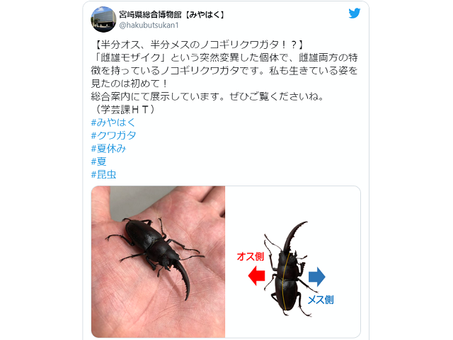 Rare living male-female stag beetle is currently housed in Miyazaki prefectural museum