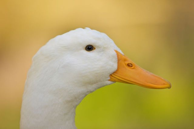 Twitter quacks with laughter at this hilariously angry duck berating a golden retriever【Video】
