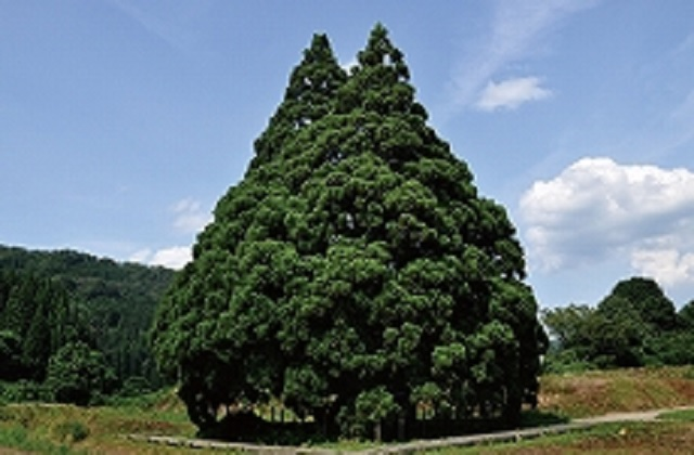 "Japan has a ""Totoro Tree"" that looks just like the Studio Ghibli anime star【Photos】"