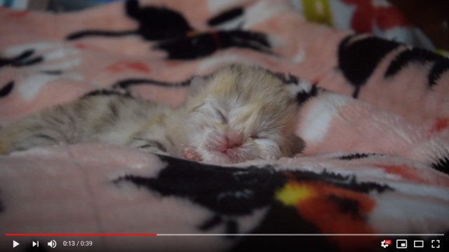 Newborn baby sand cat totally melts hearts across Japan【Video】