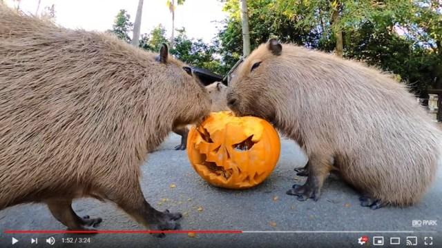 Trick or treat? Capybaras at Nagasaki Biopark devour jack-o'-lantern in fun new video