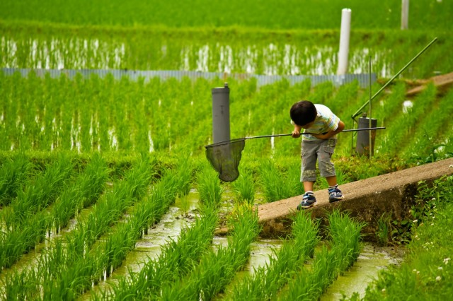 Nagoya University develops rice plant that grows pure sugar