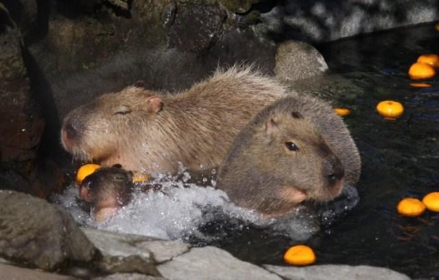 A whole bunch of capybara videos to help ease your presidential election stress【Videos】