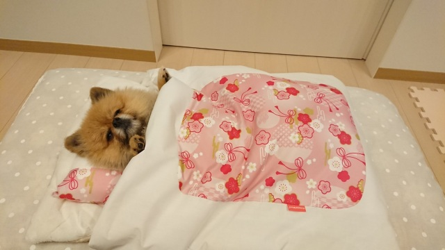 Futon-loving Pomeranian shows us how to spend winter Japanese-style【Photos】