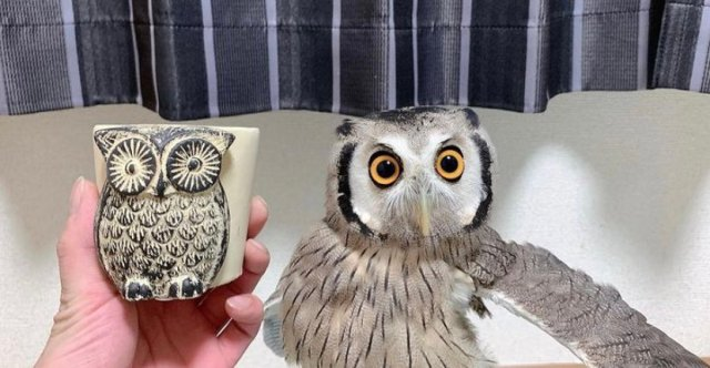 Cute pet owl in Japan startles its owner with a dramatic transformation sequence