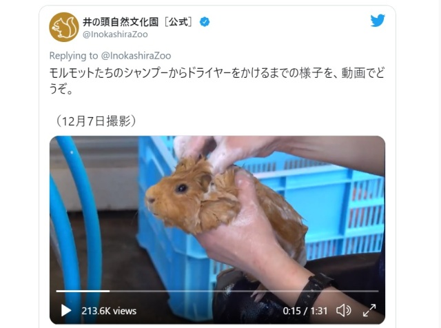 Guinea pigs in Tokyo zoo get pampered in the cutest video of 2020