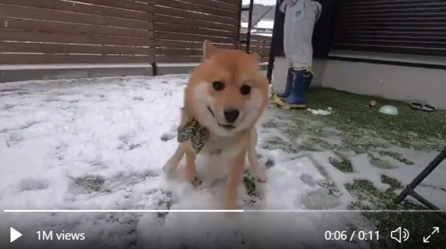 Maximum Shiba! Dog in Japan's first day in the snow is a hyper expression of pure joy【Vid】