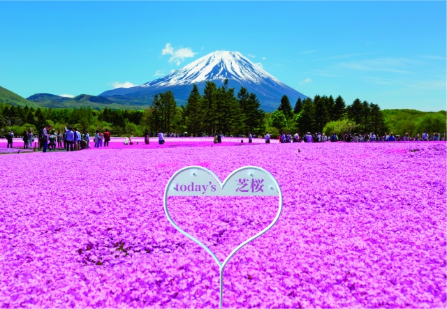 "Mt Fuji Shiba-sakura Festival, where beautiful ""lawn sakura"" blossom"
