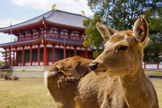 Nara asks visitors to stop feeding the deer