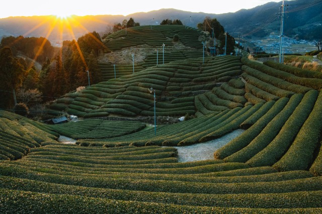 Shizuoka Prefecture may lose title of Japan's top tea producer to rising star Kagoshima